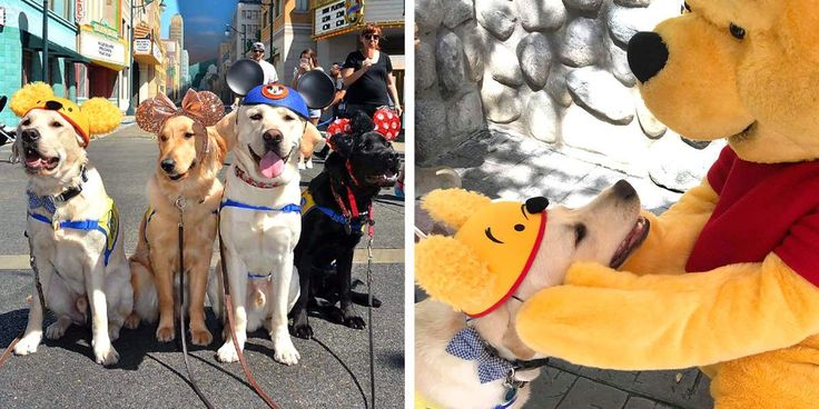 Service Dogs In Training Take Adorable Field Trip To Disneyland #dogsfunnycutest – Puppies!