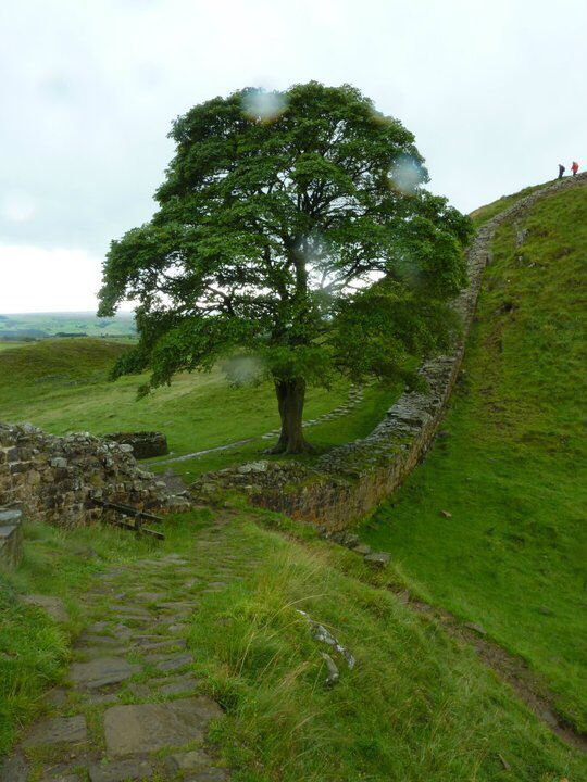 Iconic Sycamore Tree, Sycamore Gap, Hadrians Wall, Northumberland