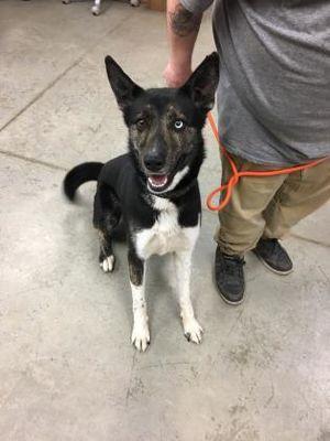 Fort Dodge, IA – Husky. Meet Rowdy a Pet for Adoption.
