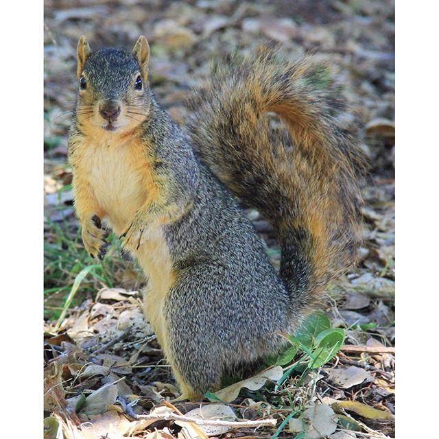 【kt423k】さんのInstagramをピンしています。 《キャンパス内とか寮の近くにリスがチラホラおるねんけど、アメリカではあんまり良い存在ではないみたい🙄 病原菌持ってたり、イタズラしたり…笑 見た目は可愛いのにかわいそう… #squirrel#animal#nature#forest#campus#ucberkeley#berkeley#university#studyabroad#リス#森#キャンパス内#大学#ucバークレー#バークレー#留学#アメリカ留学#動物#小動物#自然》