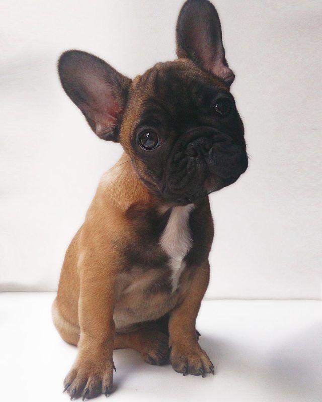 / Ten weeks old pup Hugo  #tb fransk bulldog frenchie french bulldog