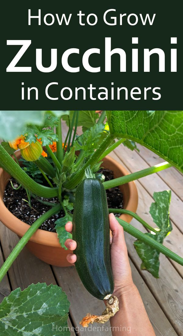 How To Grow Zucchini In Containers In 2020 Growing Zucchini Zucchini Vegetable Garden Tips