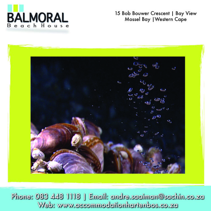 The origin of the name Mossel Bay (the Bay of Mussels) has to do with the ascendancy of the Dutch shipping merchants in the late 16th and the early 17th Centuries. The mussels and oysters on the shore would have been a welcome addition to the limited diet on which ship's crews were expected to survive in those days. Click here if you would like to see more: http://bit.ly/1oFdieW #Mosselbay #Mussels #History