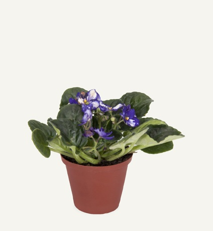 African Violet Plant, Woolworths, R19.99