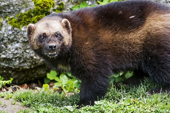 Wolverines Look Tough But Climate Change Could Threaten