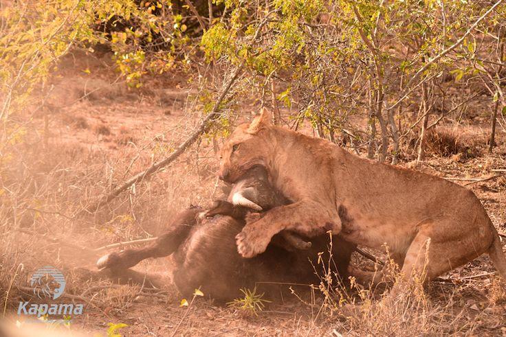 Our latest blog takes you through a lion kill on Kapama Reserve.