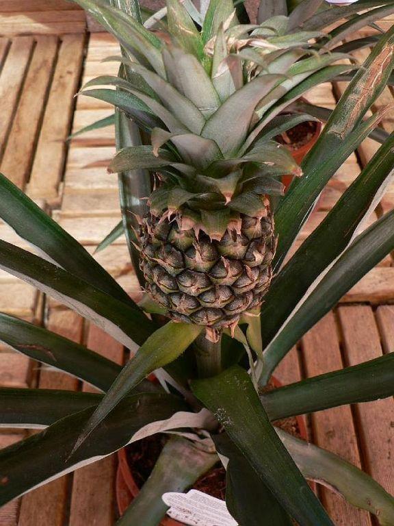 Ananasovník | Ananas : návod k pěstování, požadavky na světlo, hnojení, vlhkost, množení a zalévání