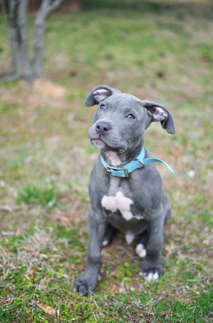 25 Best Ideas About Blue Nose Pitbull Puppies On