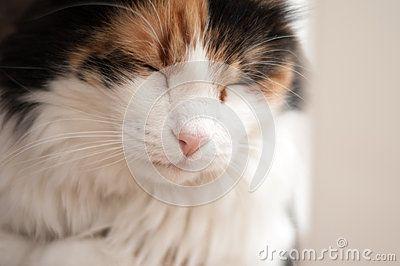 Almost asleep fluffy cat posing