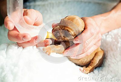 An adorable little Rhodesian Ridgeback whelp is born to early. The kindness of a human will help the beautiful puppy to survive. Human hands reaching a small bottle with milk and the dog is sucking on it. Image taken in front of white background. The puppy is one week of age. it is a purebred Rhodesian Ridgeback hound dog. The typical characteristic of that breed is the ridge on their back. The hair is growing in the opposite direction from the normal coat.