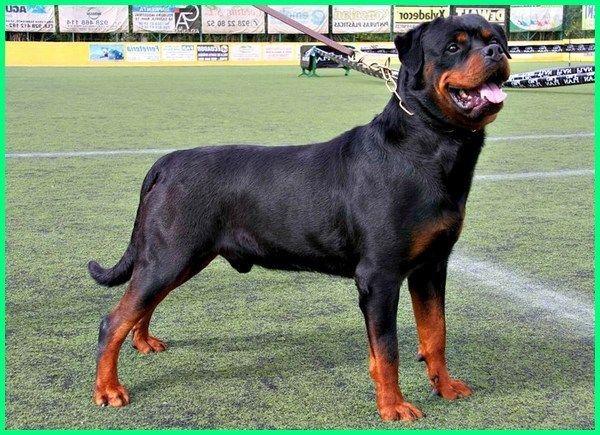 45 Jenis Anjing Terkenal Di Dunia Gambar Dan Keterangannya Dunia Fauna Hewan Binatang Tumbuhan Di 2020 Anjing Hewan Anjing Doberman