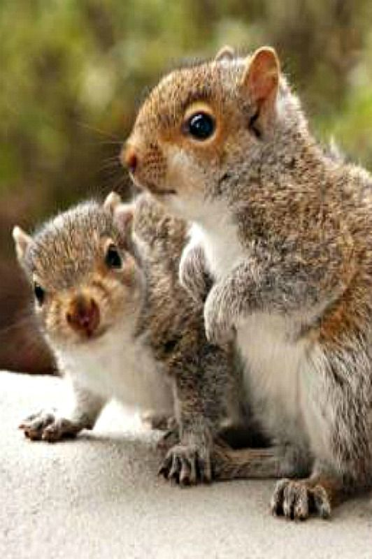 .Young squirrels