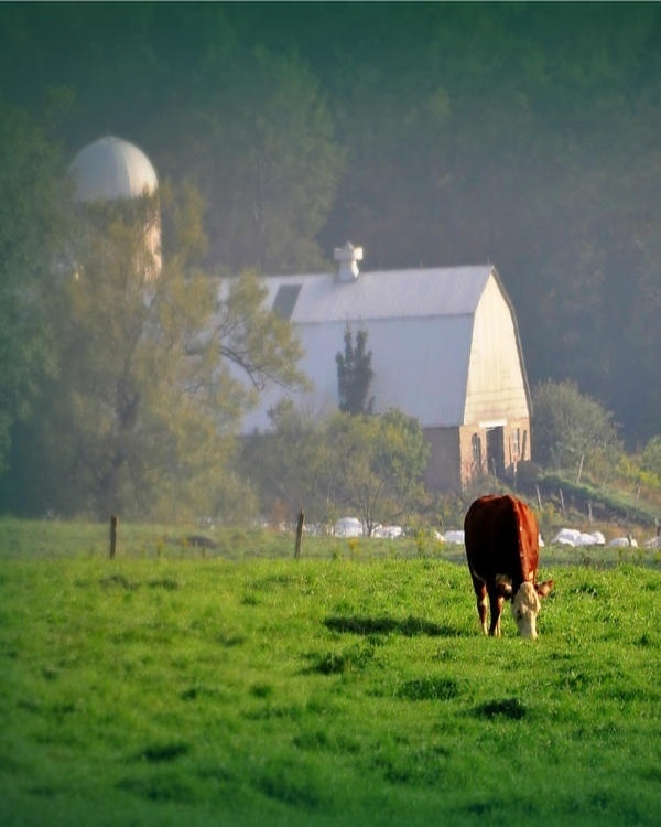 Barn In A Fog & Cow Grazing