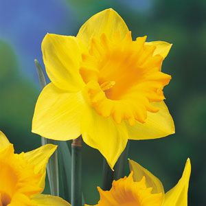 Daffodils, or narcissus, contain in the bulbs and stalks a toxic alkaloid that, if ingested in larger quantities, can be deadly. In the Netherlands during the Second World War, starving cattle were fed daffodil bulbs and fatally poisoned.