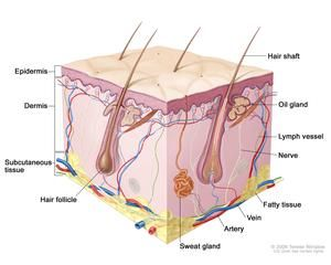 Skin anatomy; drawing shows layers of the epidermis, dermis, and subcutaneous tissue including hair shafts and follicles, oil glands, lymph ...