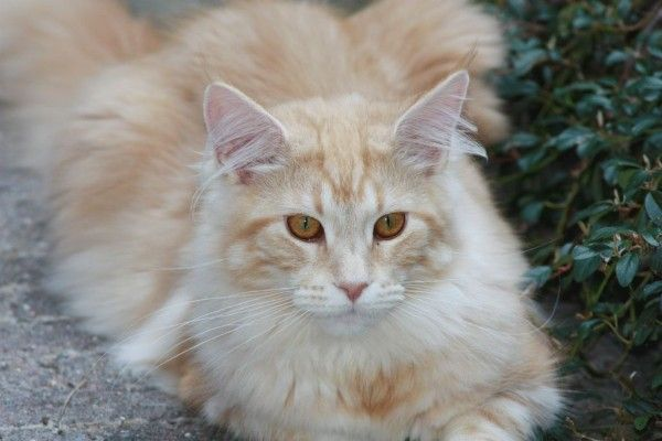"Maine Coon Red Silver Blotched. Indian Summer "" Indi "" van cattery Baninka"