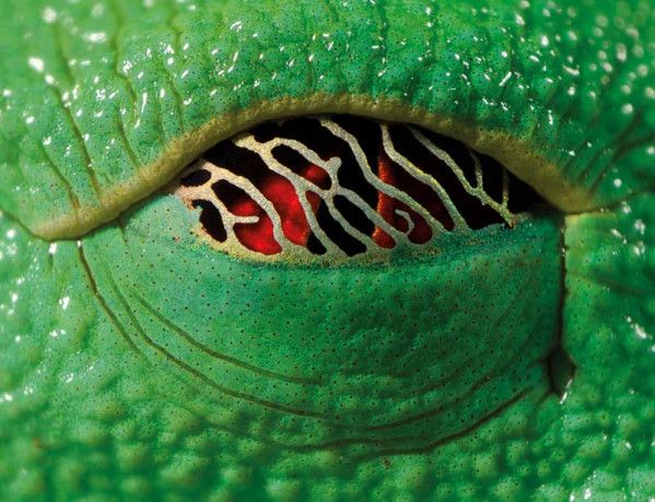 ANIMAL-Oeil-Grenouille-rainette aux yeux rouges - Le blog de EasyDoor