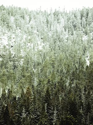 Gradient forest from dark green to white sky in Höga kusten, Sweden. Available as poster at printler.com, the marketplace for photo art. Photographer Carl Johan Johansson