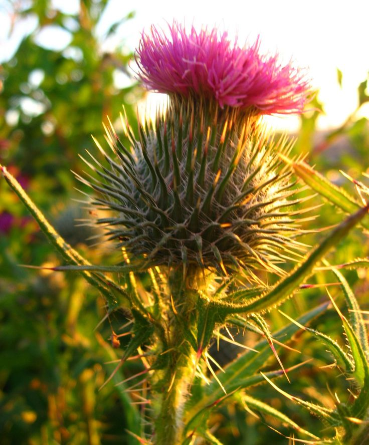 76 Best Thistles Images On Pinterest Thistles Scottish Thistle