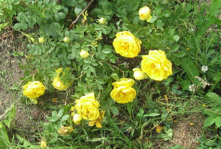 Kerrottu keltainen ruusu