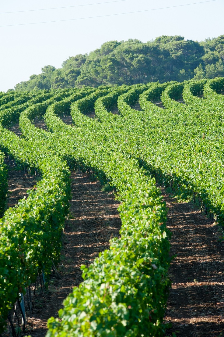 """Puglia is very famous for its wine... Here you can see a""""Primitivo"""" vineyard in Gioia del Colle. ITALIA"""