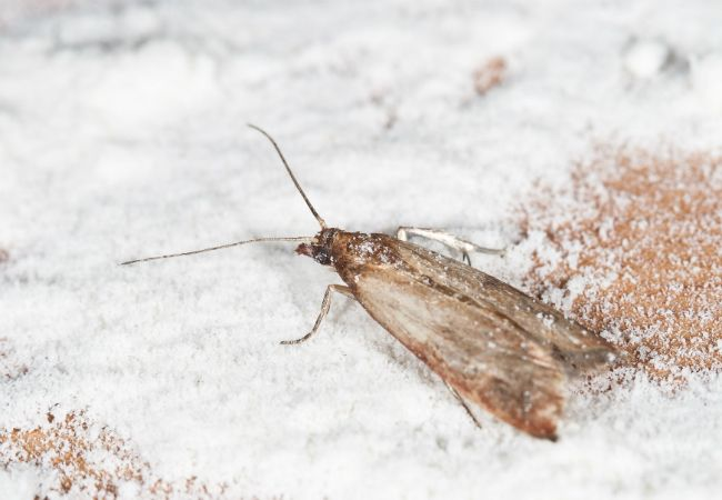 How To Get Rid Of Pantry Moths Home Places And We