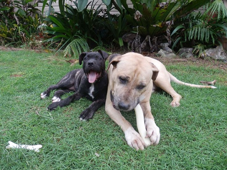 Butch and Evie enjoying a dental bone. These are not just a fun and tasty treat they help maintain teeth and gum health.