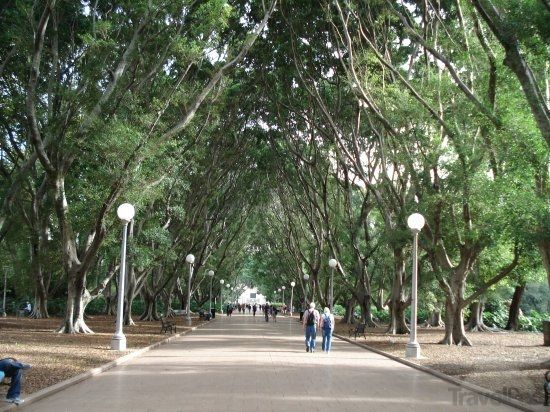 Fig Tree Lined Avenue in Hyde Park