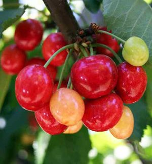 Coral Champagne Cherry Tree: Coral Champagne requires only 400 chilling hours to produce an abundant crop of cherries! Grows in zones 6-9b: Plum Trees, Tarts Cherries, Coral Champagne, Cherry Trees, Sweet Cherries, Cherries Trees, Willis Orchards, Chill Cherries, Champagne Cherries