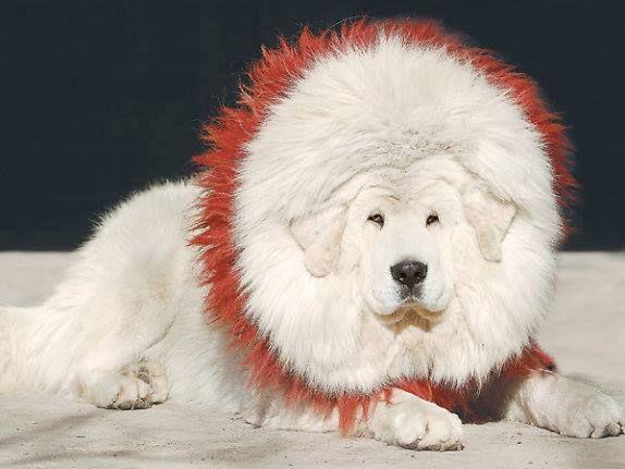 Tibetan Mastiff Lion | White Tibetan Mastiff Pictures - Biggest Dog Breed - Looks Like Lion