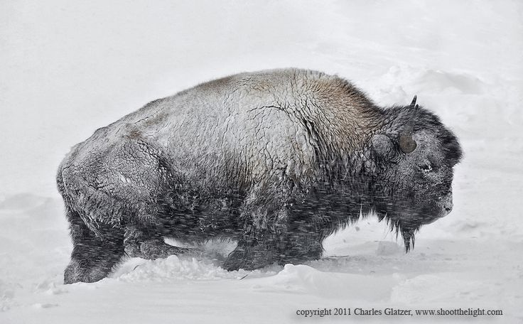 : Photos, Awesome Creatures, Photograph Bison, Charles Glatzer, Animals Deer Imagery, Bison Buffalo, Blizzard, Amazing Animals
