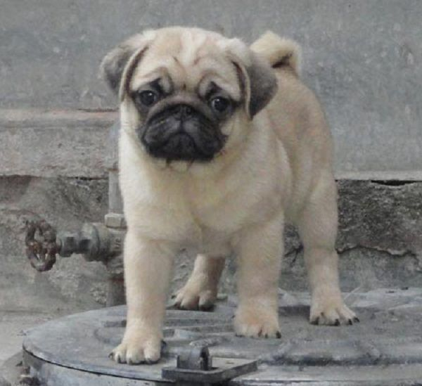 Pug Puppies For Sale In Chennai Zoe Fans Blog Labradorpuppyforsaleinchennai Pug Puppies For Sale Pug Puppies Labrador Puppy