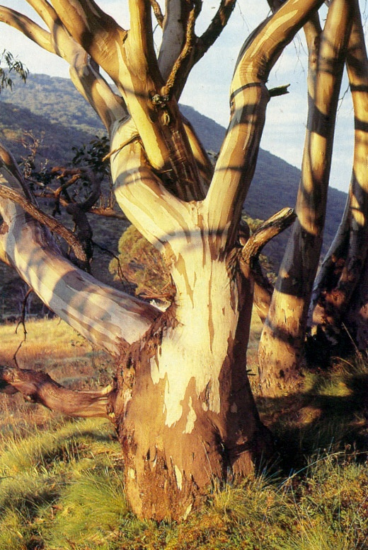 Aussie gum tree with gracefully curved trunk and branches