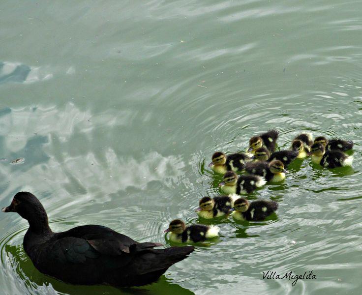 Baby ducks swimming behind Mama