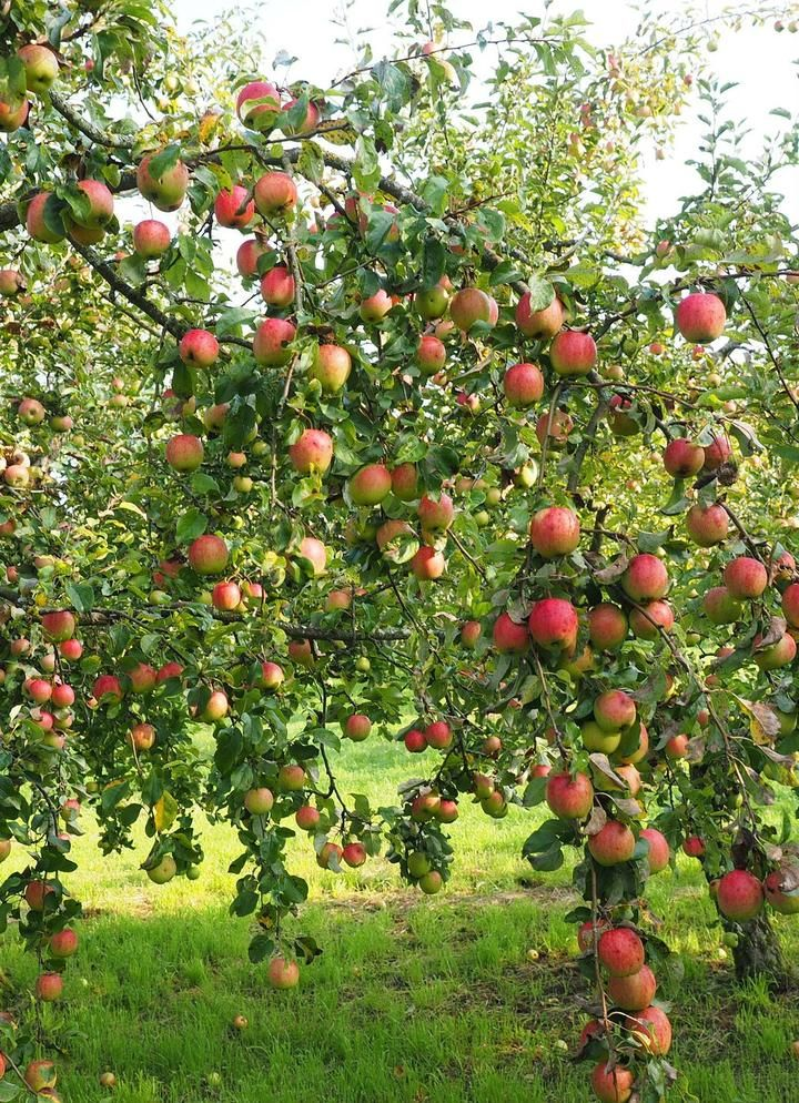 Cortland Apple Tree One Of The Slowest To Brown After Slicing 2 Years Old And 3 4 Feet Tall Fruit Trees Apple Tree Peach Trees
