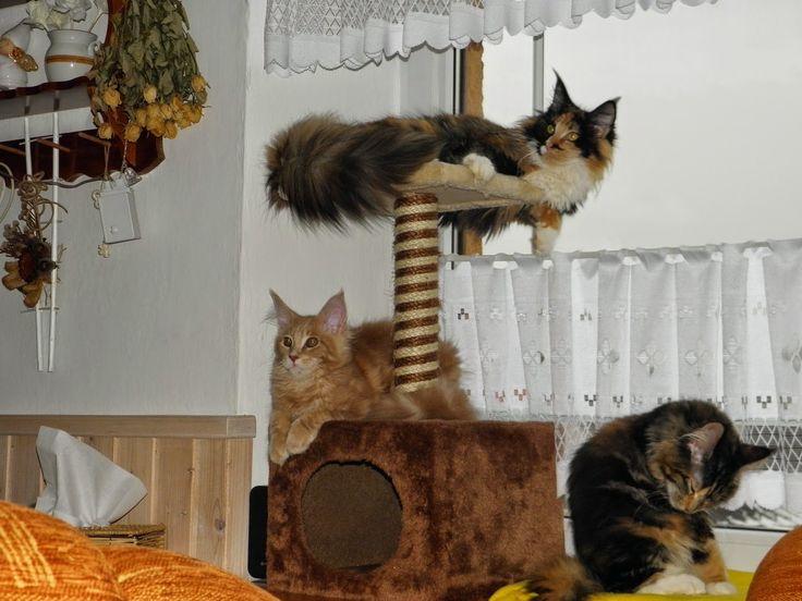 Maine Coon - Mainská mývalí kočka: Nedělní odpoledne