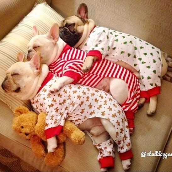 Cuteness overload! Adorable French Bulldogs spooning in puppy pajamas!