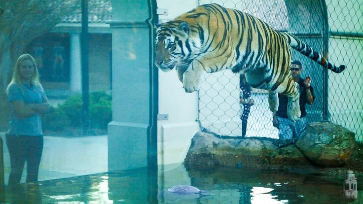 LSU's Mike the Tiger VI plays with his friend Jeff, Oct. 24, 2013