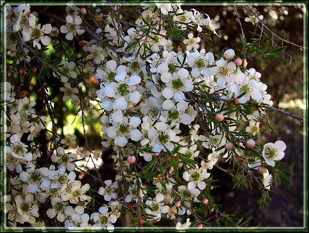 So what EXACTLY is the name of the plant that creates this wonderful honey called Manuka Honey? The answer is Leptospermum.  Click here to learn more.