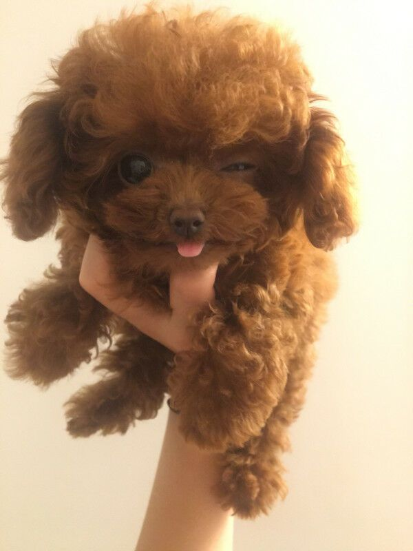 Micro Tea Cup Poodle Puppy So Cute Text 15712798963 For Quick