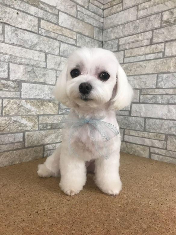 まるチーズのカット トリミングカット写真集 ドッグカフェ Jp Maltese Puppy Cute Dog Pictures Cute Dogs Images