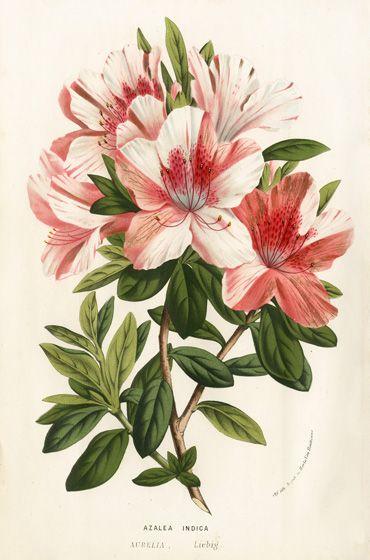 """""""Цветы теплиц и садов Европы"""".   Всего было выпущено 23 номера журнала.   Иллюстрации были ручной раскраски и литография."""