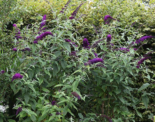 Buy butterfly bush Buddleja davidii 'Black Knight': Delivery by Crocus