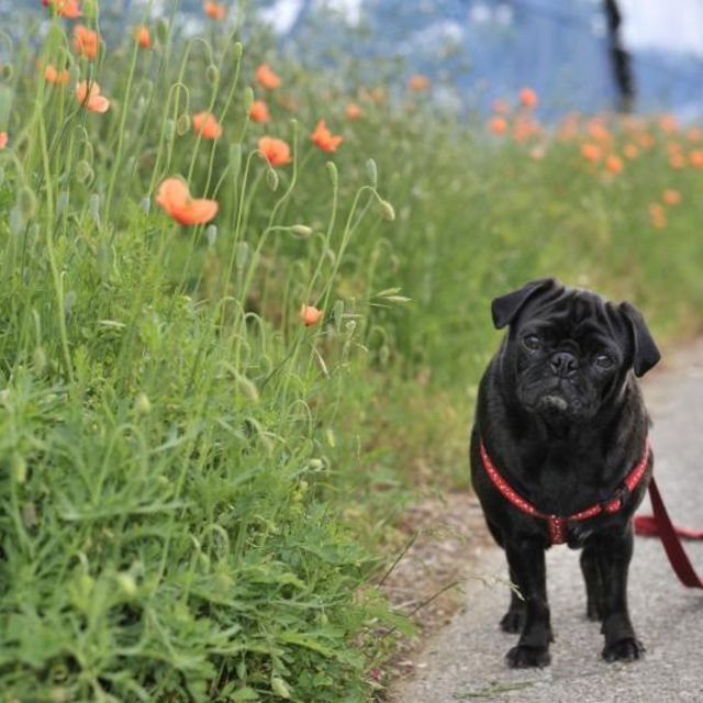 Dog on leash standing beside flowers.