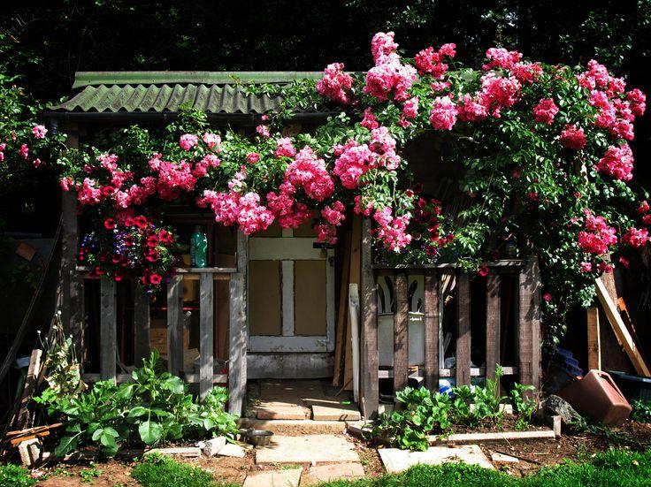 Views from the Garden: Climbing roses
