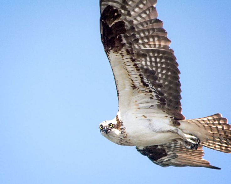 Osprey Photo by Paul Yates -- National Geographic Your Shot