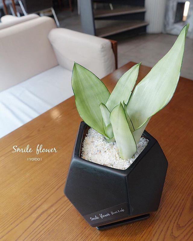 """#나사공기정화식물  나사에서 발표한 공기정화식물 27위! _#산세베리아 의 #실버산세베리아 _요즘 가장 핫한 #예쁜화분 . kakao id. 스마일플라워앤카페 블로그. http://blog.naver.com/smile-flower . """"당신의 스마일을 보고싶어요"""" 'for your smile' SMILE FLOWER☕️CAFE . #smileflower #smilecafe #flowercafe #smile #flower #florist #flowershop #handtied #여의도 #여의도스마일 #여의도플라워 #여의도꽃집 #스마일플라워 #스마일플라워카페 #플라워카페 #플로리스트 #꽃 #플라워 #센터피스 #꽃스타그램 #인테리어 #가드닝 #플라워데코 #plants #cafe"""