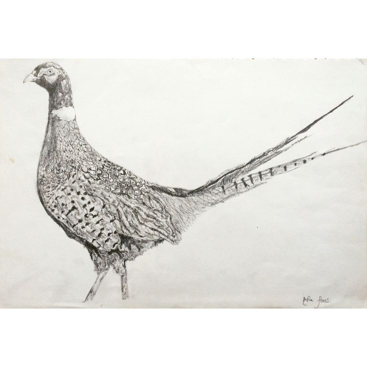 Sketch Images For Drawing: Artist- Myself Pheasant Drawing. Draw In Pencil And