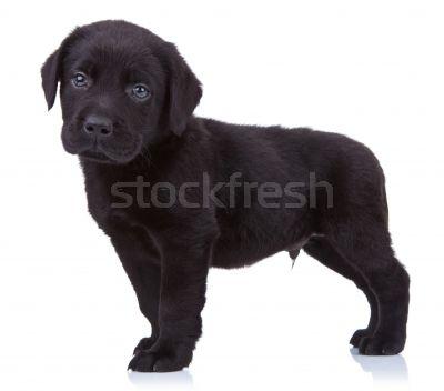 1724756_zwarte-labrador-puppy-permanente-witte-achtergrond.jpg (400×352)