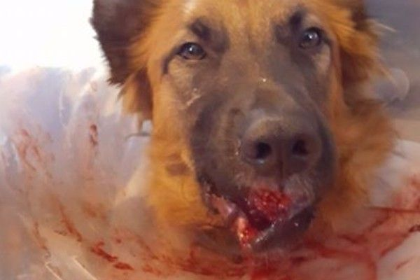 Please help save the life of a German Shepherd that was hit by a car #dogs #pets #dog #cute #animals #puppy